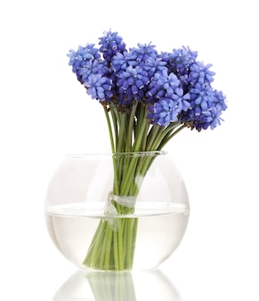 Muscari - hyazinthe in vase isoliert auf weiß