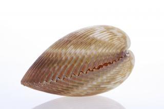 Muschel fisch