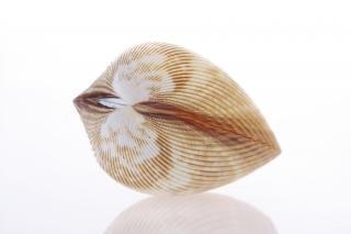 Muschel knochen spirale