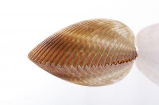 Muschel marine