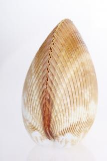 Muschel natürliche