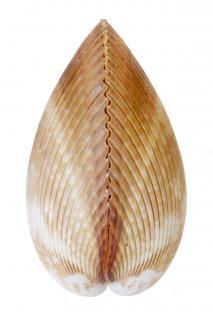 Muschel sommer