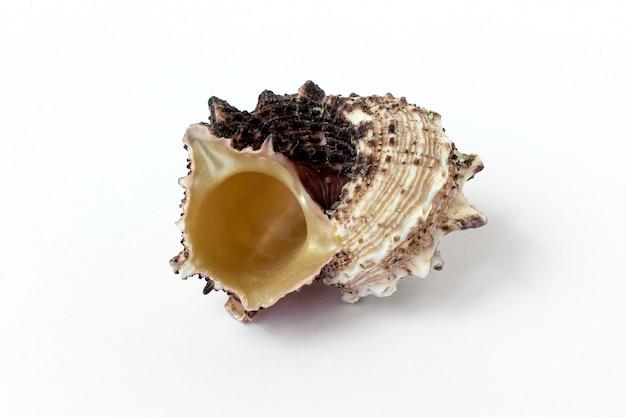Muschel, weißer hintergrund