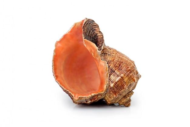 Muschelschale isoliert