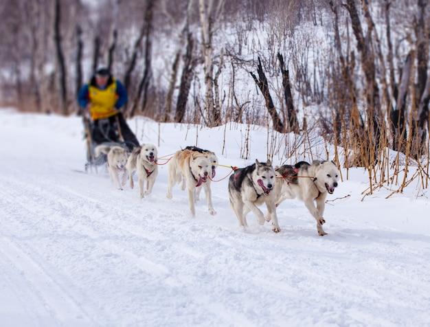 Musher versteckt sich hinter dem schlitten beim schlittenhunderennen auf schnee im winter