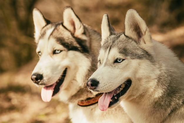 Mushing. hund ruht sich nach dem rennen aus. sibirischer husky.