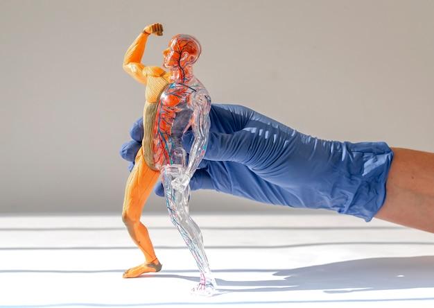 Muskel- und kreislaufsysteme des menschlichen körpermodells in medizinischer hand