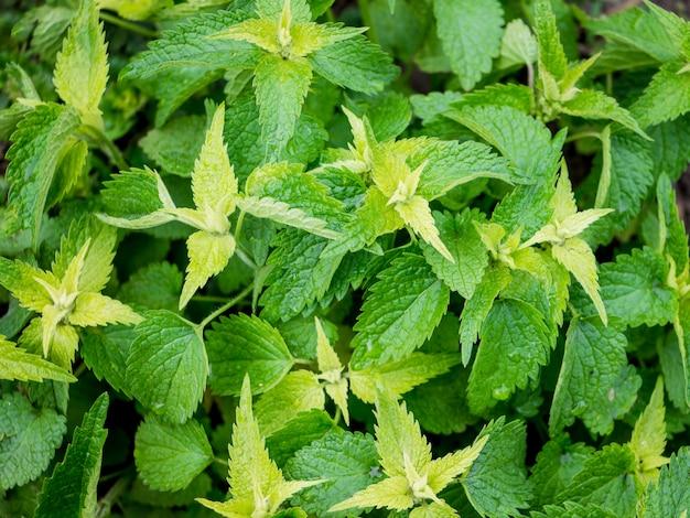 Muster der grünen brennnesselblätter
