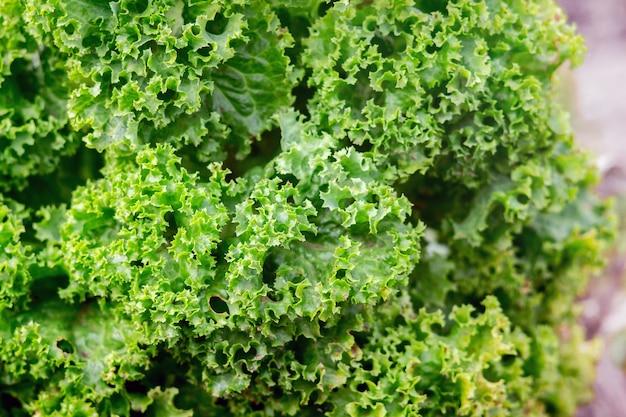 Muster des grünen salats, der im garten wächst