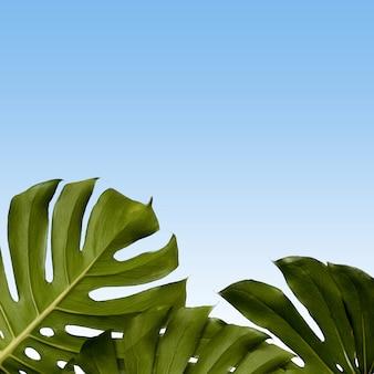 Muster von monstera-blättern auf einem blauen himmel, kopienraum