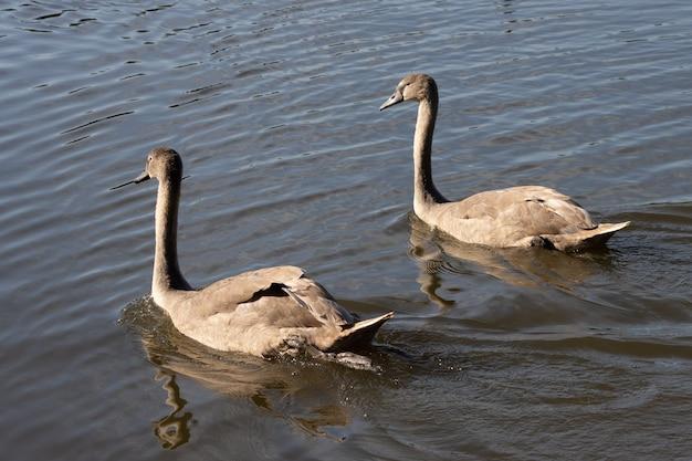 Mute swan cygnets beleuchtet im sonnenschein am hedgecourt lake