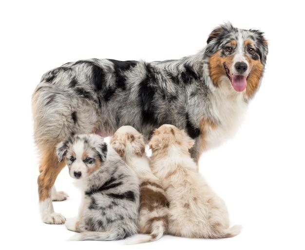 Mutter australischer schäferhund mit drei welpen, zwei säugen