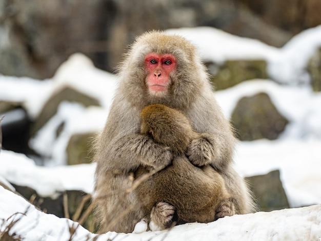 Mutter japanischer makaken umarmt ihr baby