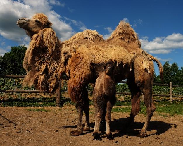 Mutter kamel mit baby, im freien, sommerzeit