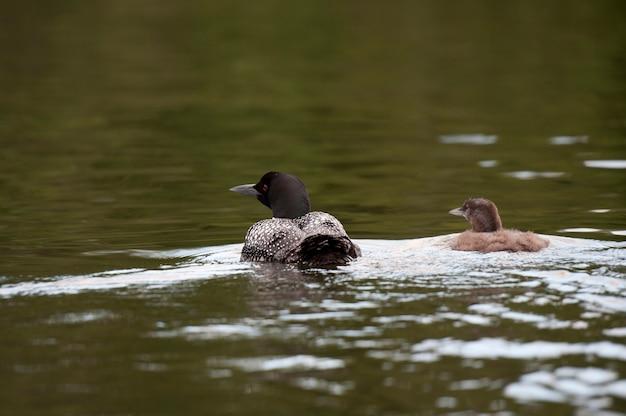 Mutter-loon mit ihrem entlein im wasser am lake of the woods, ontario