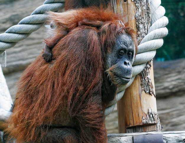 Mutter orang-utan mit ihrem süßen baby