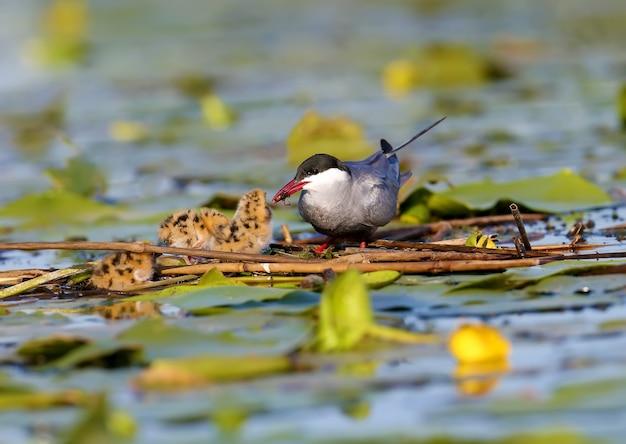 Mutter schnurrbart seeschwalbe füttert das küken mit einer wasserspinne.