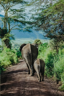 Mutter und baby elefant gehen in ngorongoro