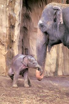 Mutter und baby elephant linking trunks