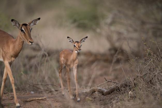 Mutter und eine babyantilope gehen zusammen