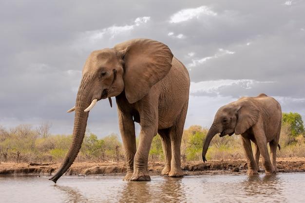 Mutter und junger kalbelefant, der am wasserloch in botswana, afrika trinkt