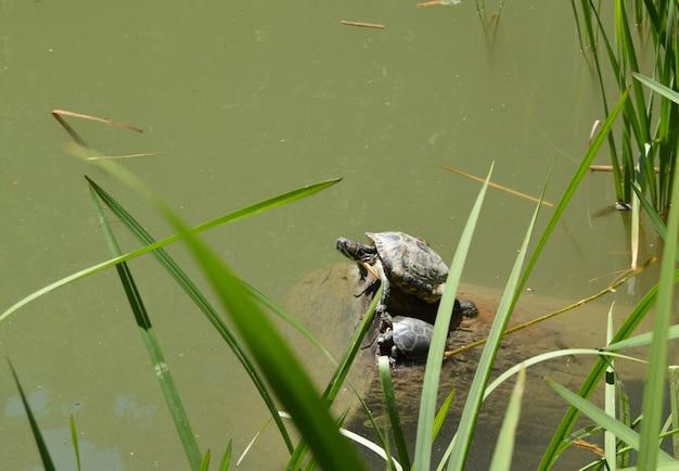 Mutter und junges zwei der schildkröten, die auf dem ufer des teichs sitzen
