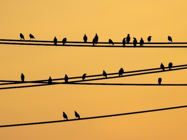 Mynas-vögel, die auf drähten und sonnenunterganghimmel sitzen