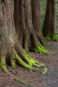 Mystisches holz, natürliches grünes moos auf den alten eichenwurzeln. natürlicher fantasiewald