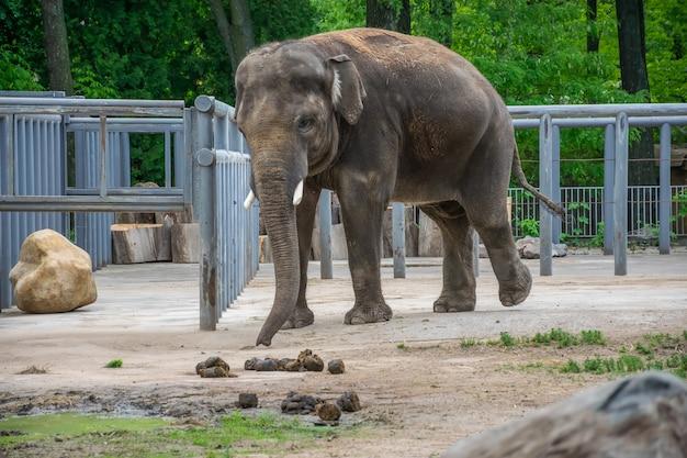 Nach dem essen stapelte ein elefant einen großen haufen kot