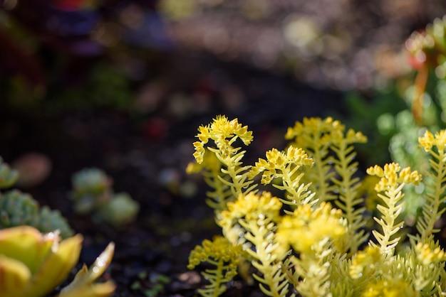 Nach dem regen gelb fleischige pflanze