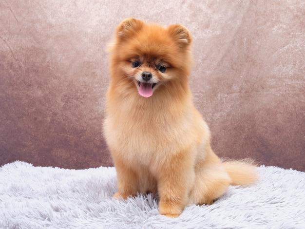 Nach dem trimmen kleiner pommerscher spitz. der hund sitzt auf einem schönen, zotteligen teppich und beobachtet genau, was passiert