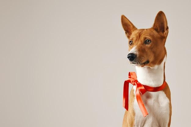 Nachdenklicher aufmerksamer hund, der einen roten bogen trägt, nahaufnahme schuss lokalisiert auf weiß