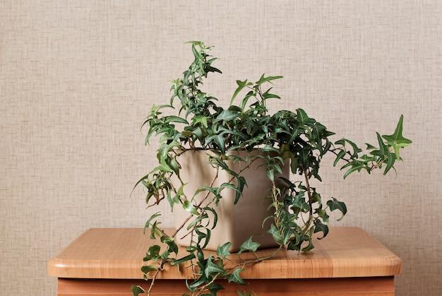 Nachlaufende reben einer topf-efeu-pflanze
