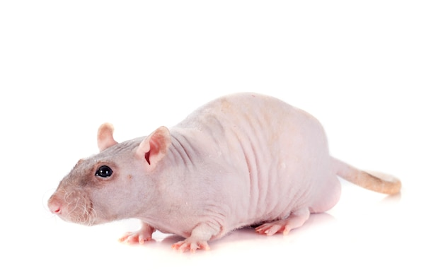Nackte ratte