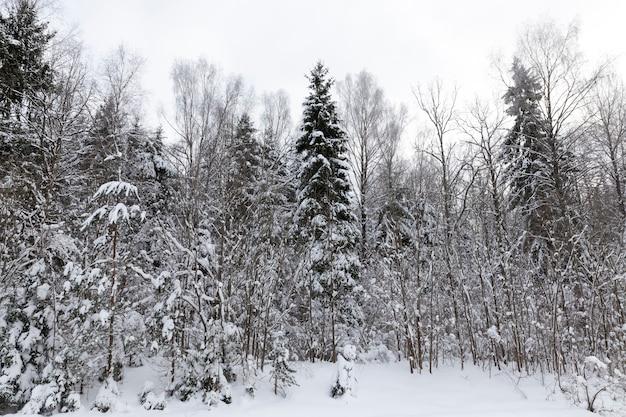 Nadel- und laubbäume ohne laub im winter, schneebedeckte bäume nach schneefällen und schneestürmen