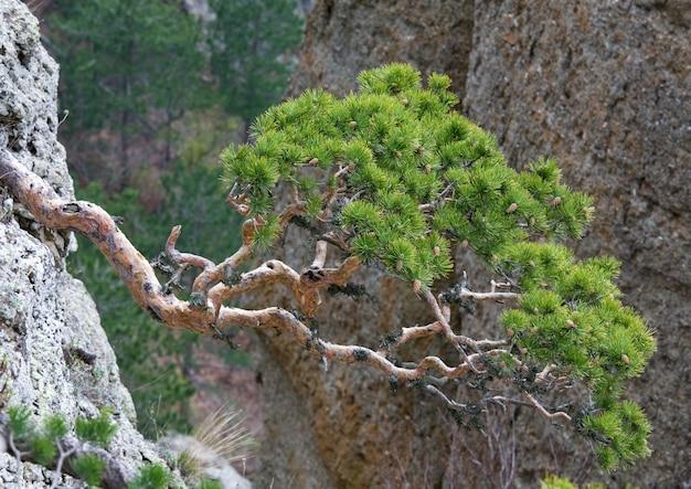 Nadelbäume auf felsen hang auf berg hintergrund (berg demerdzhi, krim, ukraine)