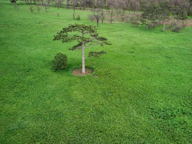 Nadelbaum auf einer grünen wiese im park, am horizontwald und am blauen himmel