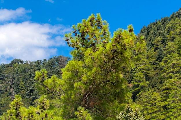 Nadelbaum mit tannenzapfen im cedar valley in zypern gegen den blauen himmel mit wolken