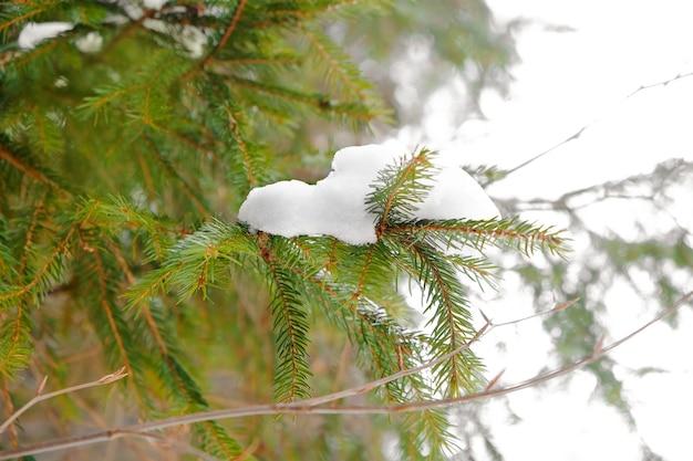 Nadelbaumzweig mit schnee am wintertag, nahaufnahme