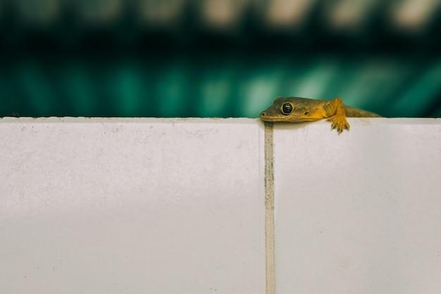 Nah an einer hausgecko-eidechse an der wand