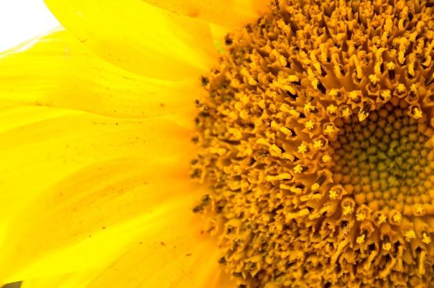 Nah an sonnenblume