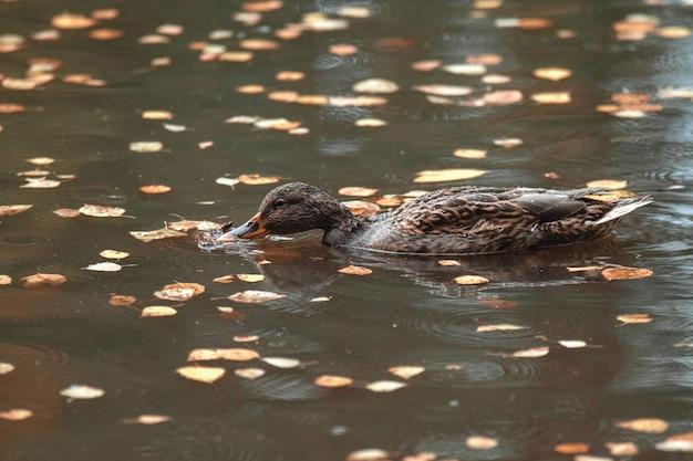 Nahansicht. im herbst schwimmt die parkente im see, umgeben von laub.