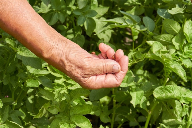 Nahaufnahme alte weibliche hand harvestinf minze im garten. kaukasische oma hand makroansicht.