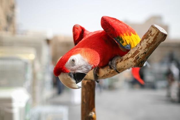 Nahaufnahme ara papagei sitzt auf holzzweig und beugt sich über die kamera. gewohnheiten von wildvögeln in gefangenschaft. vorwärtsbeuge des exotischen vogels. undomestiziertes tier unter zeitgenössischer urbaner umgebung.