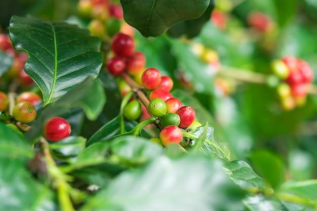Nahaufnahme, arabica-kaffeebeere, die am baum reift