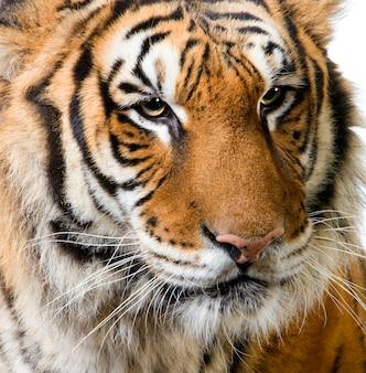 Nahaufnahme auf dem gesicht eines tigers isoliert.