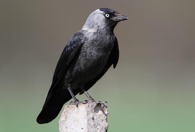 Nahaufnahme auf der westlichen dohle (corvus monedula),