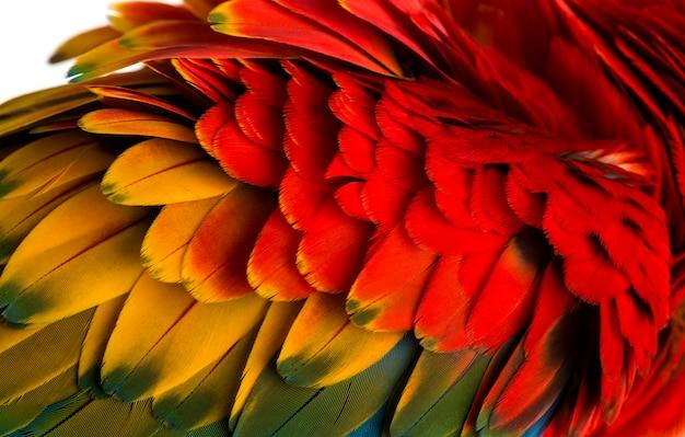 Nahaufnahme auf einem scarlet ara federn (4 jahre alt) isoliert auf weiss