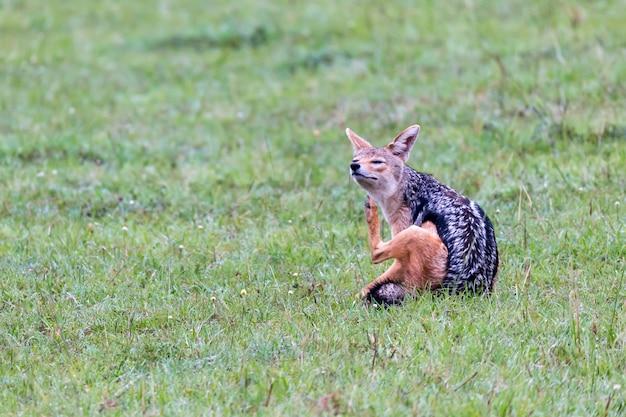 Nahaufnahme auf einem schakal in der savanne
