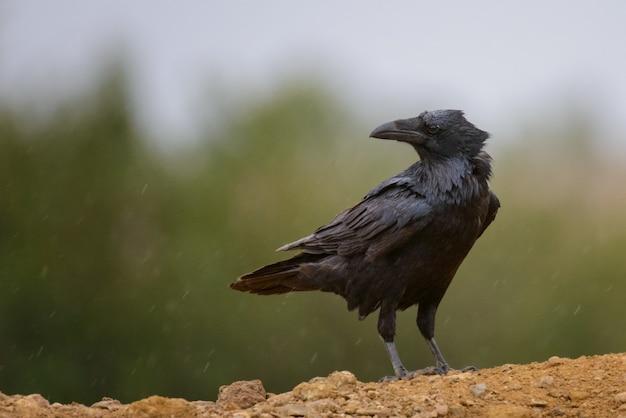 Nahaufnahme auf gewöhnliche raven corvus corax crow